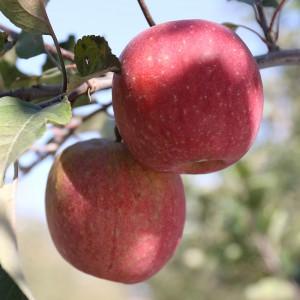 못난이 사과 10kg